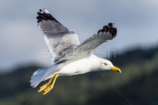 鴎 鳥 飛行 ビッグ 白 青空 ストックフォト © Steffus