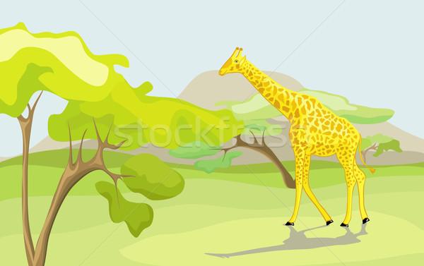 Zsiráf vad természet fehér fű hegy Stock fotó © Stellis