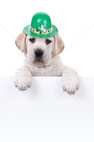 Foto stock: Día · de · san · patricio · labrador · cachorro · perro · signo · banner