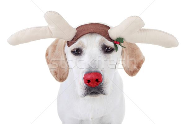 Foto stock: Reno · funny · Navidad · perro · fondo · triste