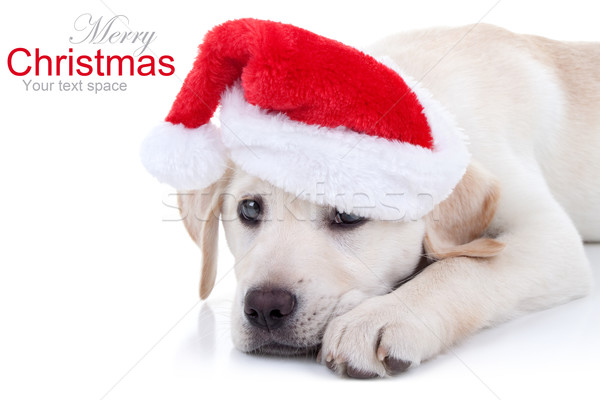 Christmas Dog Stock photo © Stephanie_Zieber