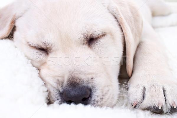 Stock fotó: Kutyakölyök · alszik · labrador · retriever · kutya · fehér · ágy
