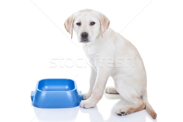 Foto stock: Funny · hambriento · perro · labrador · retriever · cachorro · no