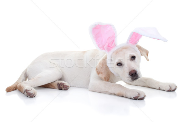 Easter bunny Labrador köpek yavrusu köpek tavşan kulaklar Stok fotoğraf © Stephanie_Zieber