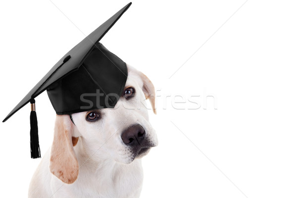 Graduation Graduate Dog Stock photo © Stephanie_Zieber