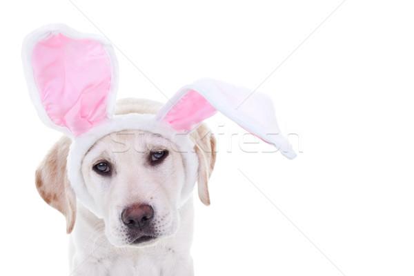Conejo de Pascua perro Pascua labrador cachorro vacaciones Foto stock © Stephanie_Zieber