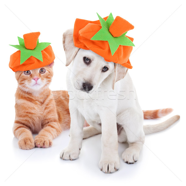 Thanksgiving Halloween Pumpkin Costume Pets Dog and Cat Stock photo © Stephanie_Zieber