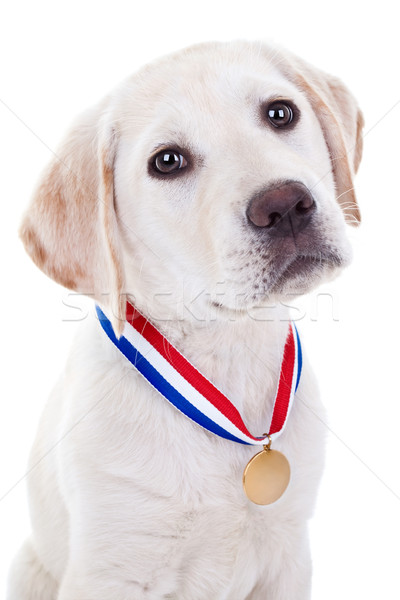 Gunning winnaar hond winnend kampioen labrador retriever Stockfoto © Stephanie_Zieber
