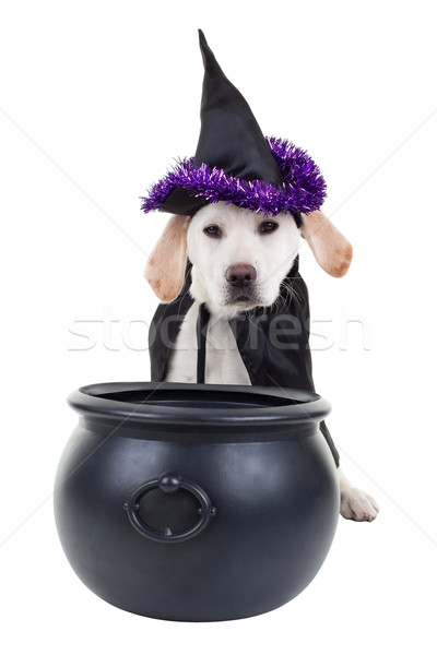 Halloween cão bruxa labrador cachorro isolado Foto stock © Stephanie_Zieber