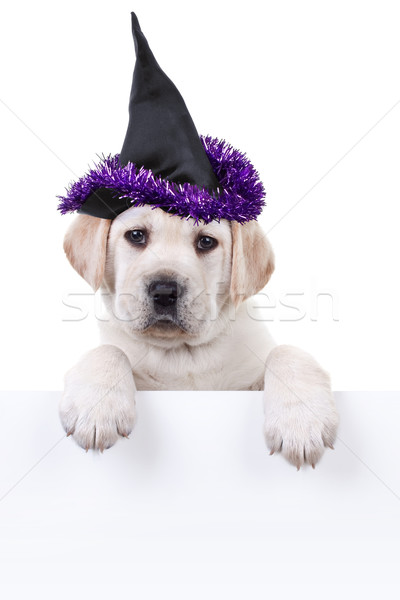 Stockfoto: Halloween · heks · hond · teken · huisdier · kostuum