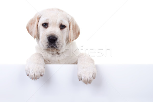 Stock photo: Isolated Puppy Above Banner
