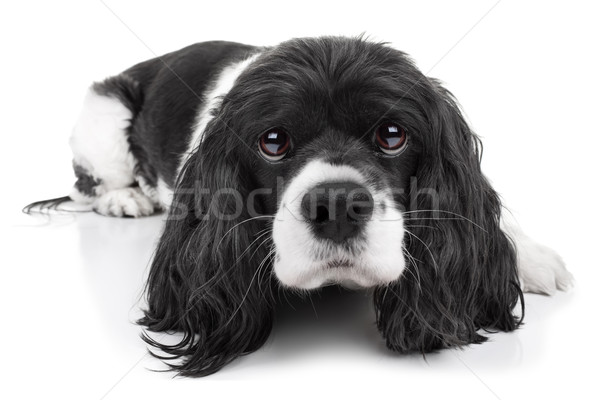 Spaniel Dog Isolated Stock photo © Stephanie_Zieber