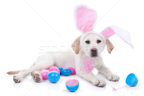Easter Bunny Dog Stock photo © Stephanie_Zieber
