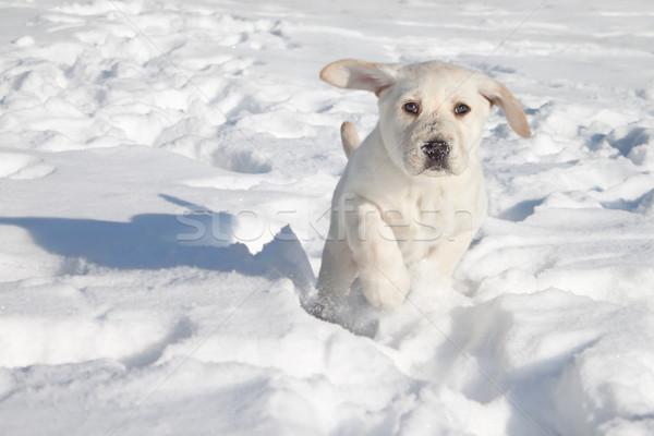 Köpek yavrusu köpek çalışma kış labrador retriever kar Stok fotoğraf © Stephanie_Zieber