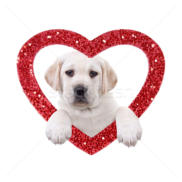 Valentine Dog Stock photo © Stephanie_Zieber