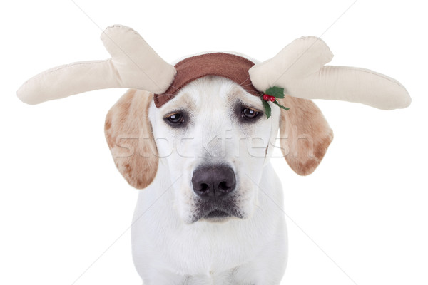 Photo stock: Noël · rennes · chien · labrador · triste · amusement