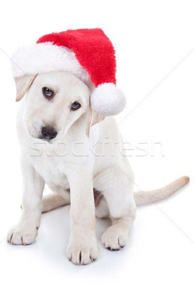 Foto stock: Navidad · perro · labrador · cachorro
