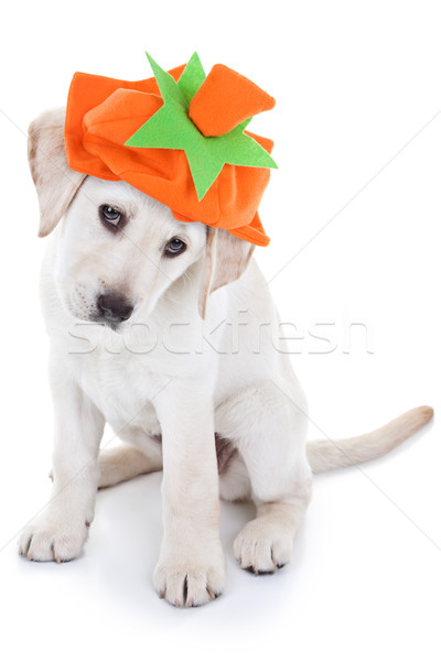 Thanksgiving Pumpkin Dog Stock photo © Stephanie_Zieber