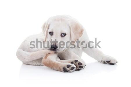 Сток-фото: смешные · собака · хвост · Лабрадор · ретривер · щенков