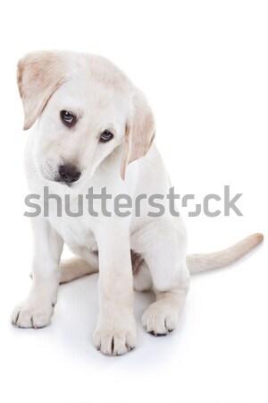 Сток-фото: Лабрадор · щенков · Лабрадор · ретривер · изолированный · белый · ребенка
