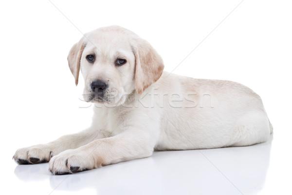 Labrador köpek yavrusu yalıtılmış labrador retriever bebek arka plan Stok fotoğraf © Stephanie_Zieber