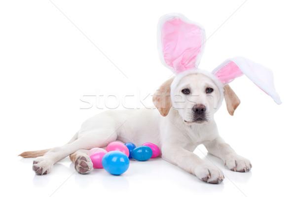 Conejo de Pascua labrador cachorro perro huevos de Pascua Pascua Foto stock © Stephanie_Zieber