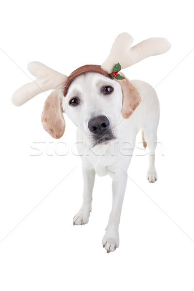 Photo stock: Noël · rennes · chien · labrador · hiver · amusement
