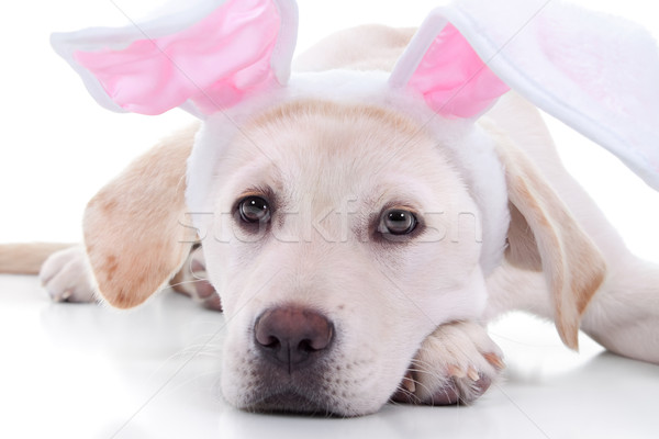Stockfoto: Easter · Bunny · hond · labrador · puppy · partij