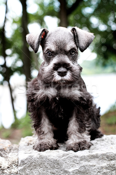 Mini Schnauzer Stock photo © StephanieFrey