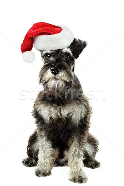 Miniature Schnauzer Stock photo © StephanieFrey