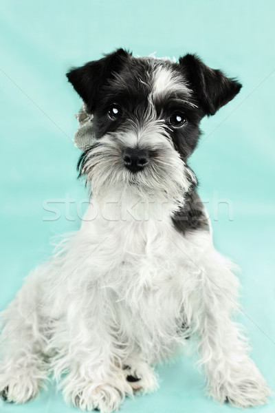 Cute Parti Color Miniature Schnauzer Stock photo © StephanieFrey