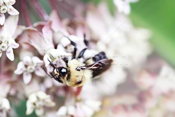Bumble Bee and Milkweed Stock photo © StephanieFrey