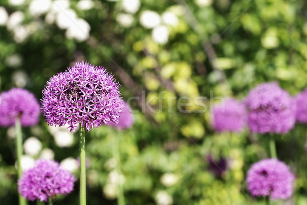 Flowering Global Allium Stock photo © StephanieFrey