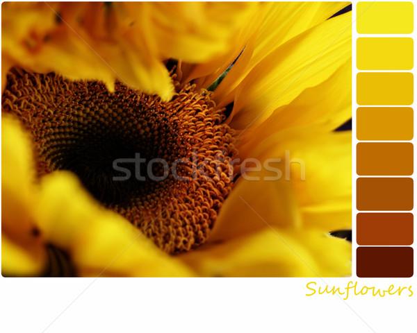 Sunflower Palette Stock photo © StephanieFrey