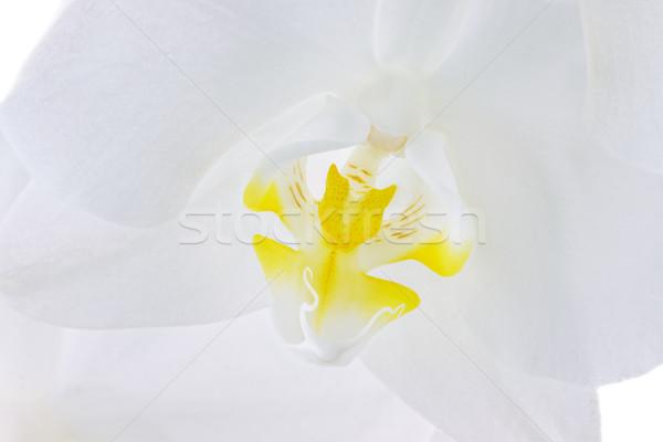 Phalaenopsis Orchid Stock photo © StephanieFrey