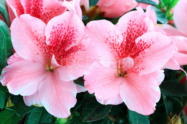 Azalea macro heldere roze ondiep voorjaar Stockfoto © StephanieFrey