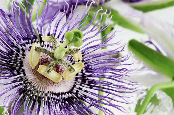 Stock fotó: Virág · extrém · közelkép · gyönyörű · fehér · lila