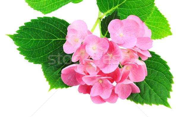 Pink Hydrangea Stock photo © StephanieFrey