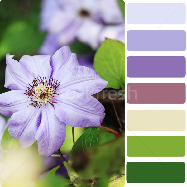 Clematis Color Palette Stock photo © StephanieFrey