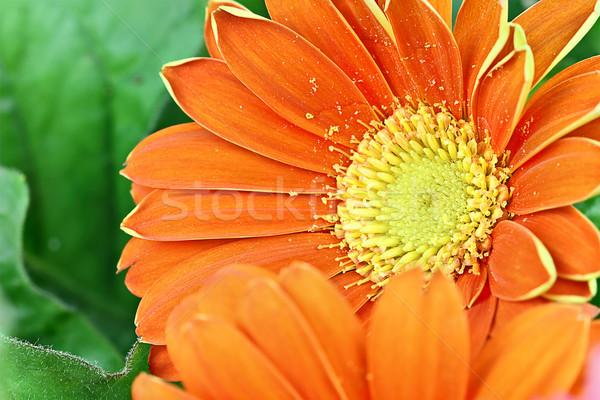 ストックフォト: オレンジ · デイジーチェーン · 抽象的な · ヒナギク · 極端な · 浅い
