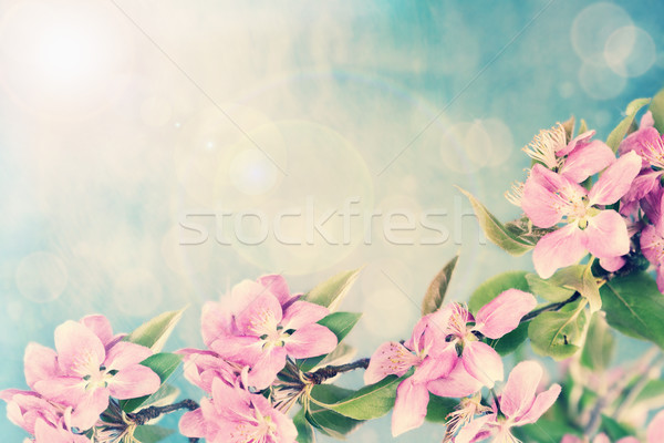 Apple Blossoms Stock photo © StephanieFrey