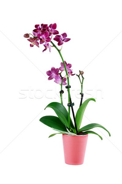 Isolated Purple Phalaenopsis Orchid Flower Stock photo © StephanieFrey