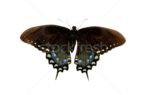 Spicebush Swallowtail Stock photo © StephanieFrey