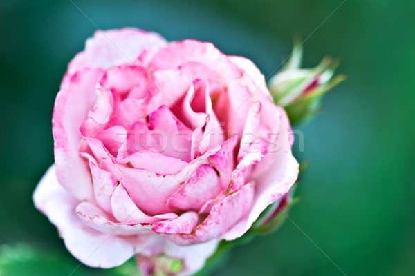 Pink Rose  Stock photo © StephanieFrey