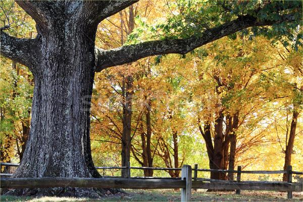 Large Oak Tree Stock photo © StephanieFrey