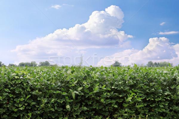 Soybean Field Stock photo © StephanieFrey