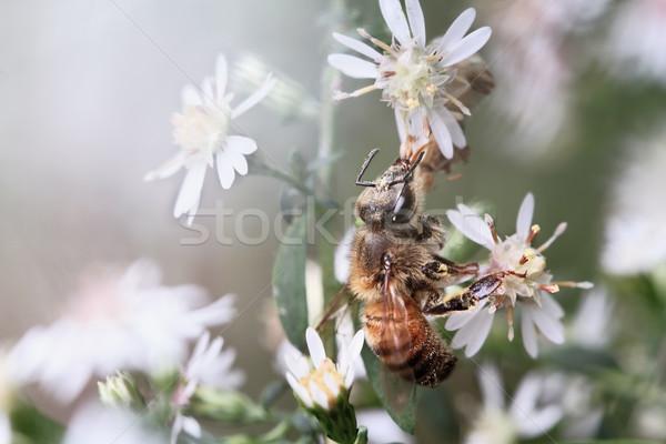Háziméh virágok etetés vad virágok kora reggel extrém Stock fotó © StephanieFrey