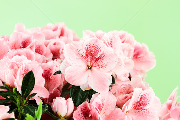 Pink Azaleas Stock photo © StephanieFrey