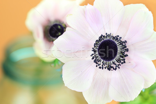 Pink Anemone  Stock photo © StephanieFrey