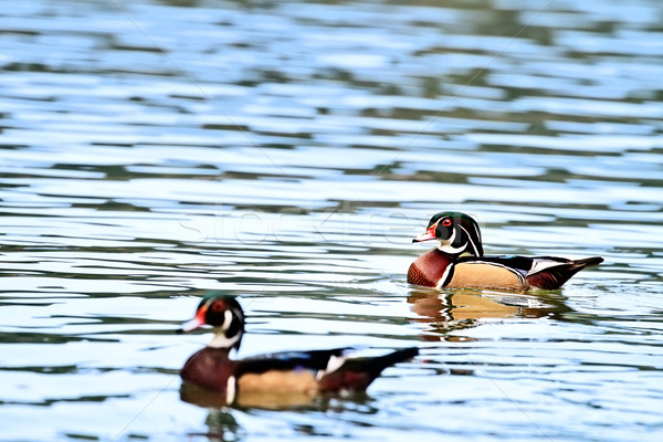 Wood Ducks Stock photo © StephanieFrey